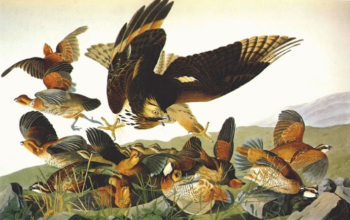 Bobwhite, by John James Audubon (1785 - 1851)