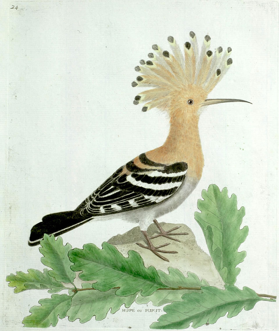 Hoopoe, by Francois-Nicholas Martinet (1760 - 1800)