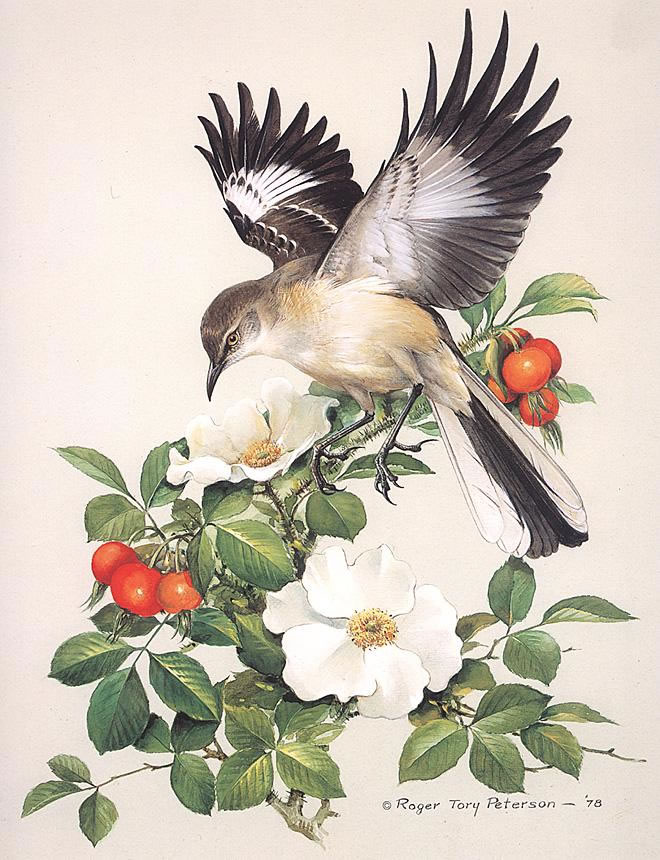 Mockingbird, by Roger Tory Peterson (1908 - 1996)