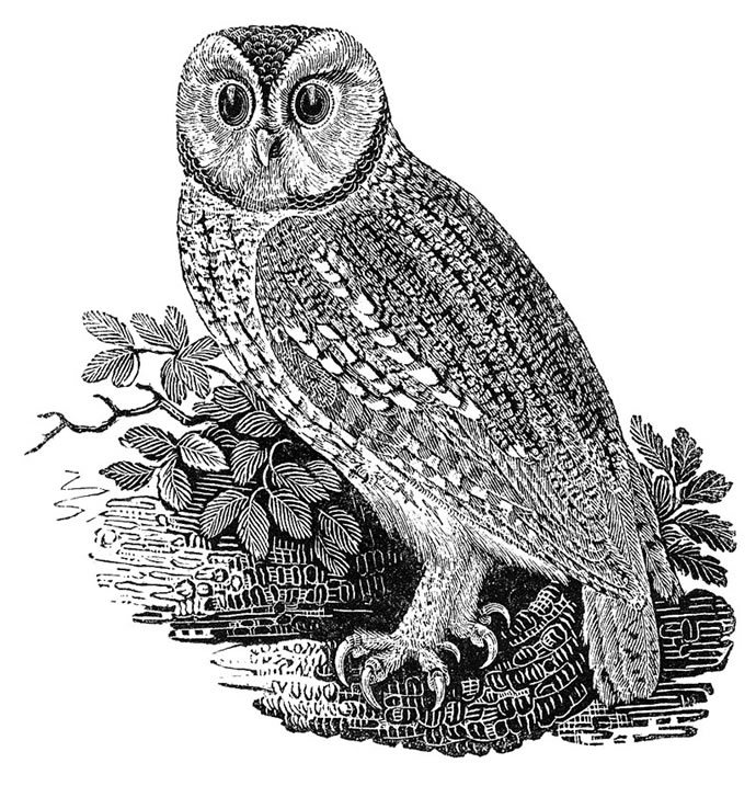 Tawny Owl, by Thomas Bewick (1753 - 1828)