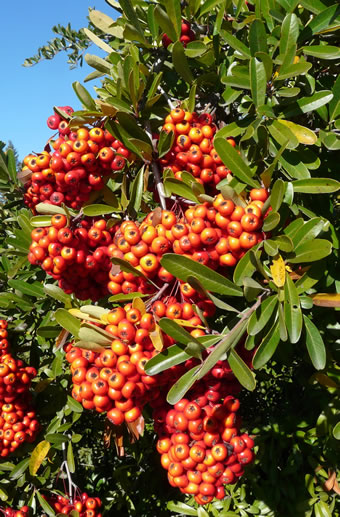 Pyracantha, an invasive species