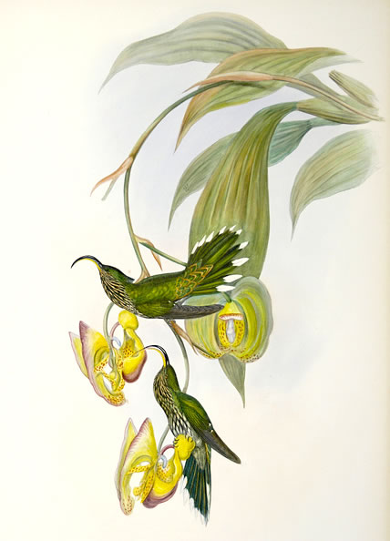 Sicklebill Hummingbird, by John Gould (1804 - 1881)