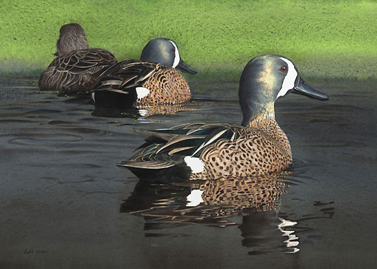 Blue-winged Teal, by Sue deLearie Adair