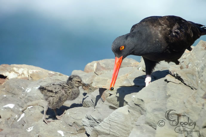 Black Oystercatcher and chick. Photo by Craig Tooley