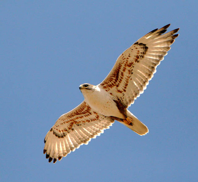 Ferruginous Hawk. Photo by Jesse House